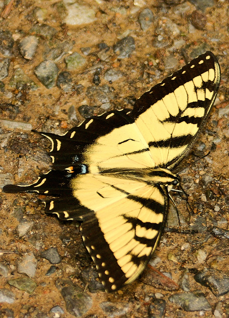 Butterfly Great Smokey Mountain National Park © Jeff Kinsey
