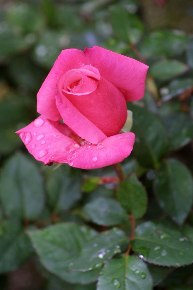Pink Rose © Charles Shapiro.jpg