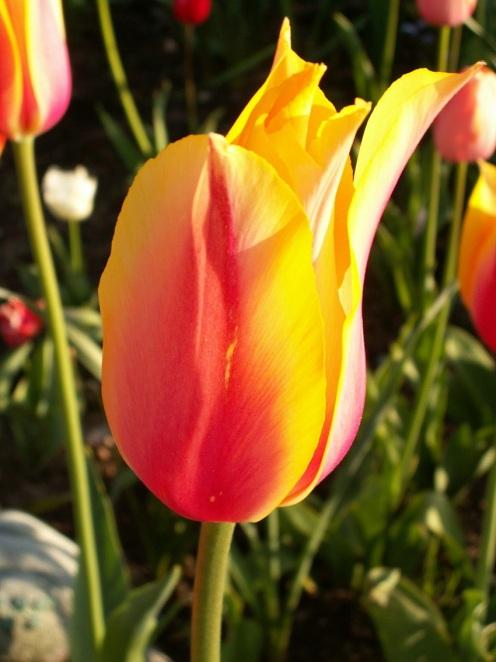 Tulip In The Sun © Joanne Soltesz.jpg