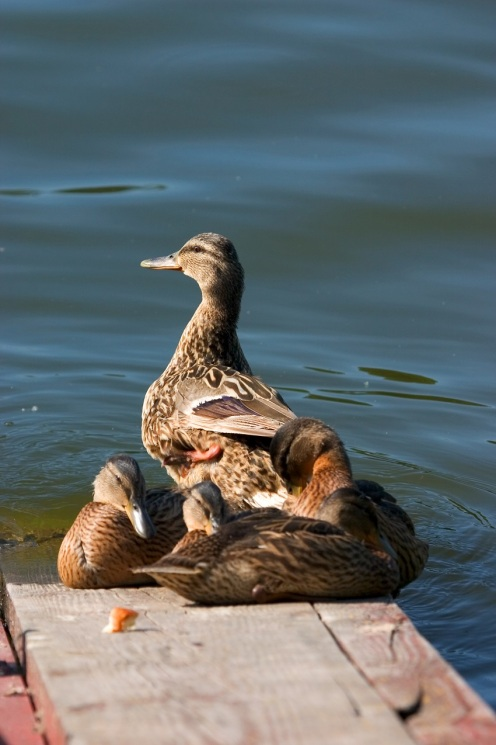 Duck With Ducklings  © Ichtor.jpg