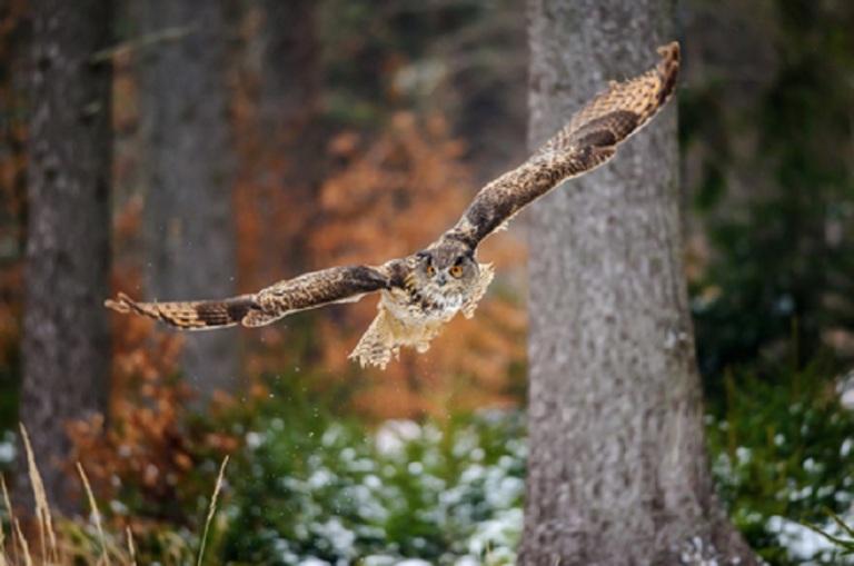 Flying Eurasian Eagle-Owl © Stanislav Duben.jpg
