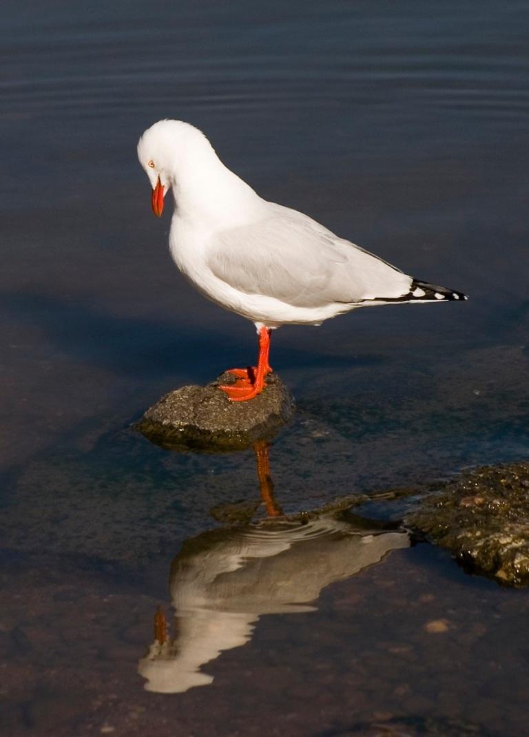 Reflection Seagull © Tristan Steele.jpg