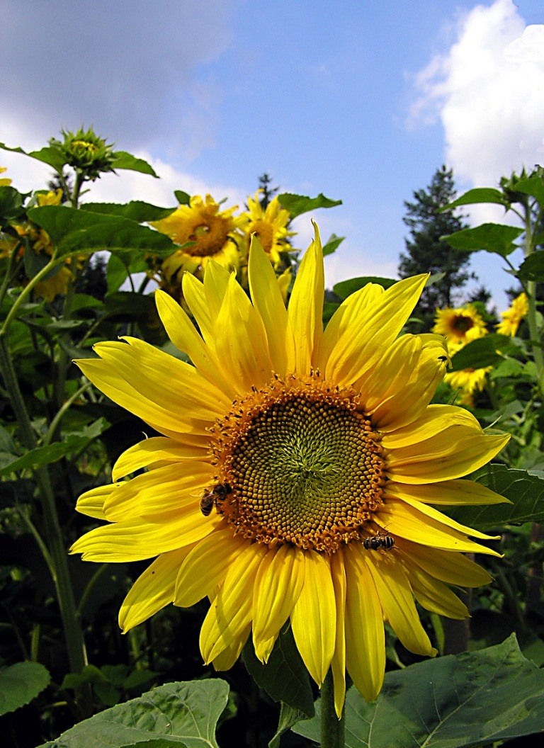 Field of Sunflowers Blue Sky © Silviu Daniel Tataru.jpg